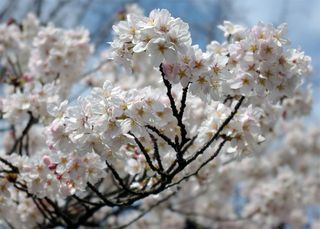 谷中霊園の桜2