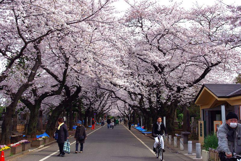 谷中霊園の桜1