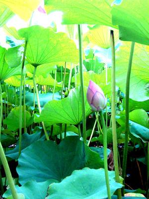 Lotus4_2
